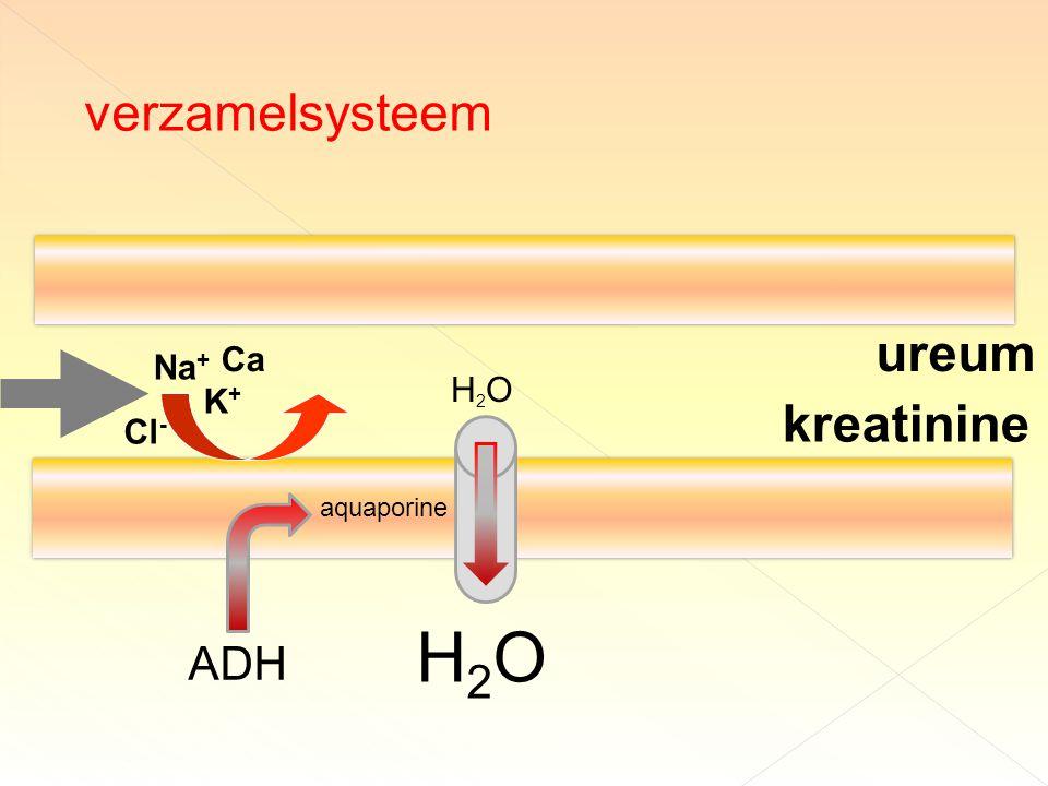verzamelsysteem ureum Ca Na+ H2O K+ kreatinine Cl- aquaporine H2O ADH