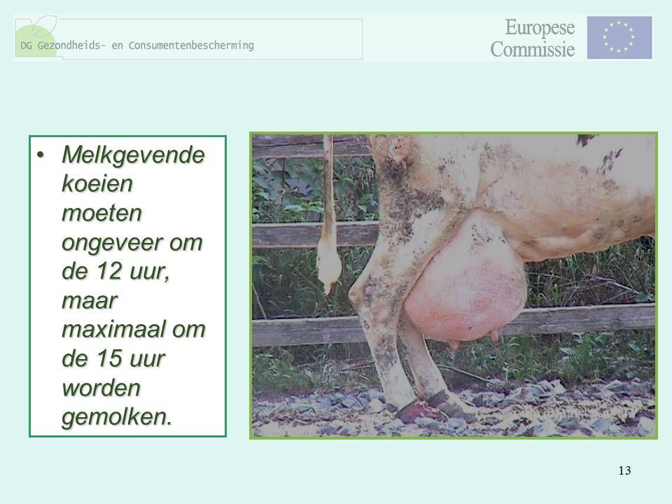 Melkgevende koeien moeten ongeveer om de 12 uur, maar maximaal om de 15 uur worden gemolken.