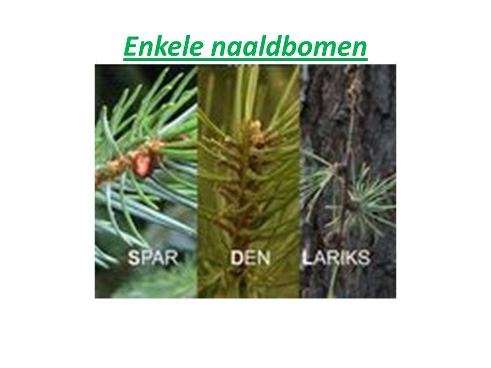 Enkele naaldbomen