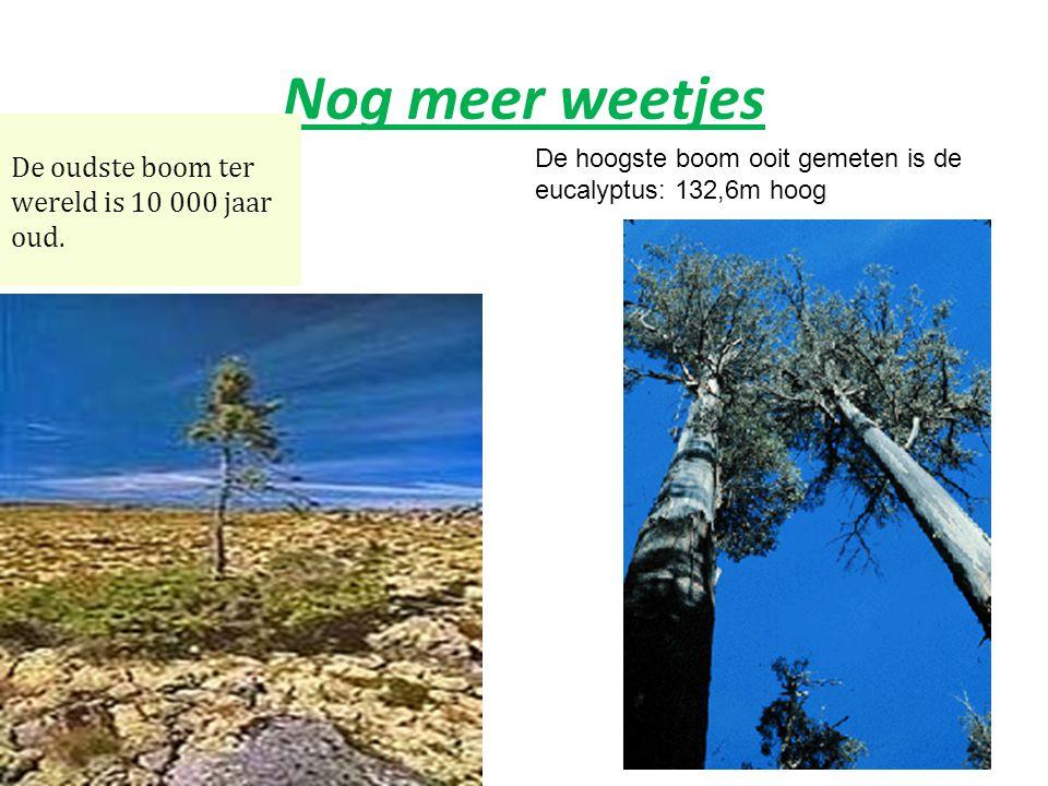 Nog meer weetjes De oudste boom ter wereld is 10 000 jaar oud.