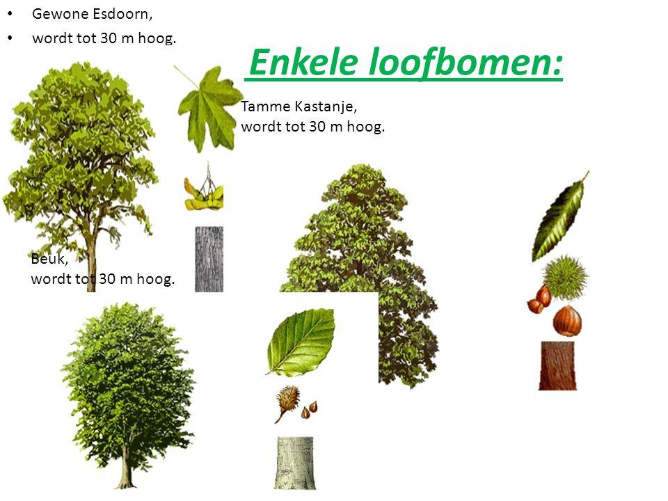 Enkele loofbomen: Gewone Esdoorn, wordt tot 30 m hoog. Tamme Kastanje,