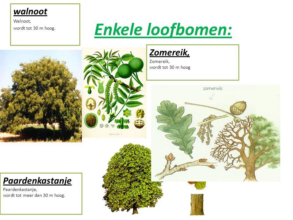 Enkele loofbomen: walnoot Zomereik, Paardenkastanje Walnoot,