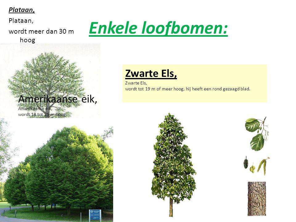 Enkele loofbomen: Zwarte Els, Amerikaanse eik, Plataan,