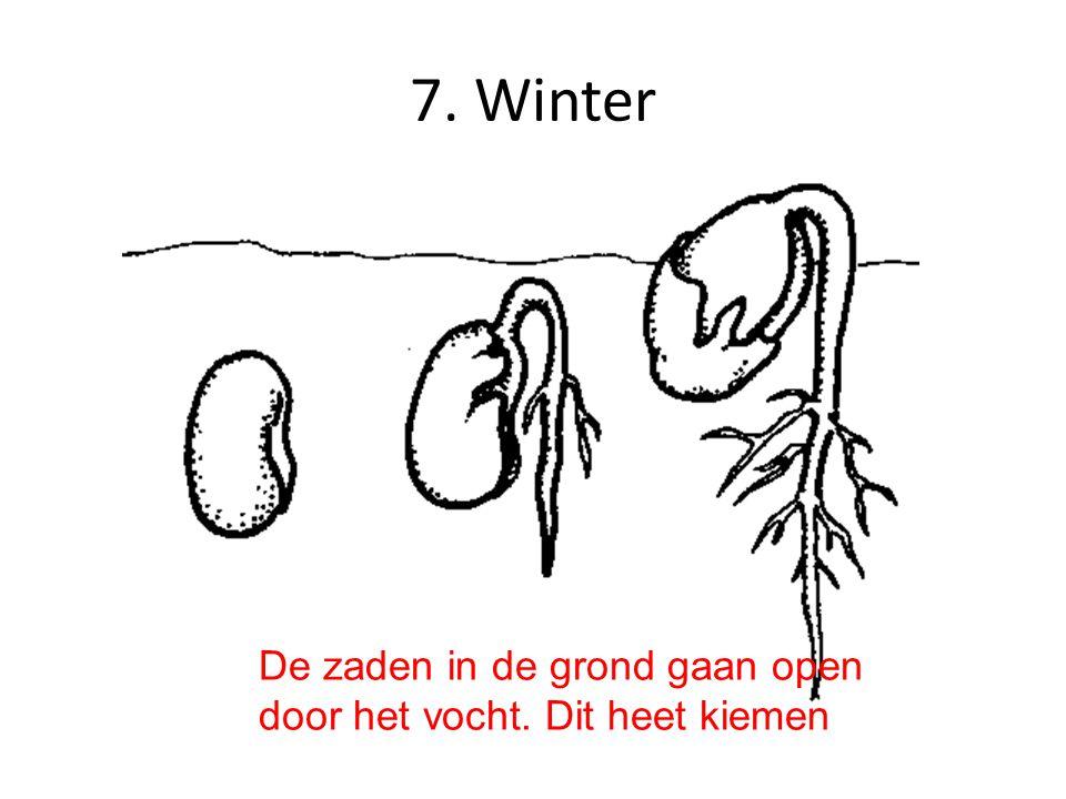 7. Winter De zaden in de grond gaan open door het vocht. Dit heet kiemen
