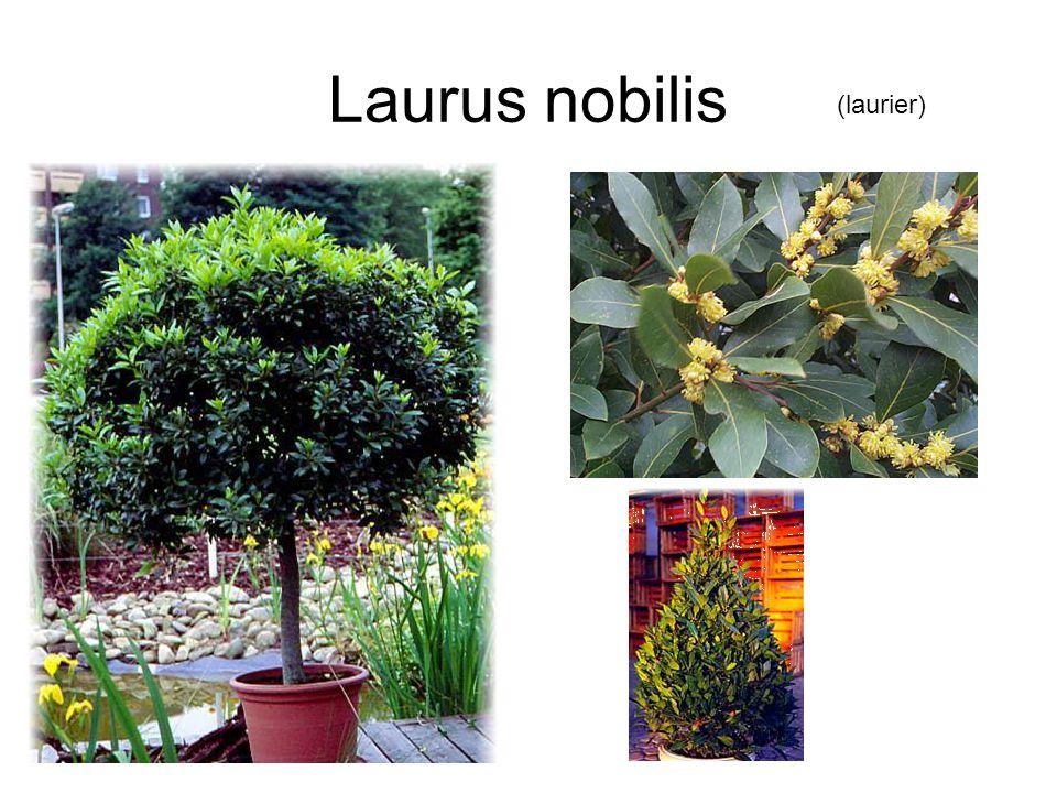 Laurus nobilis (laurier)