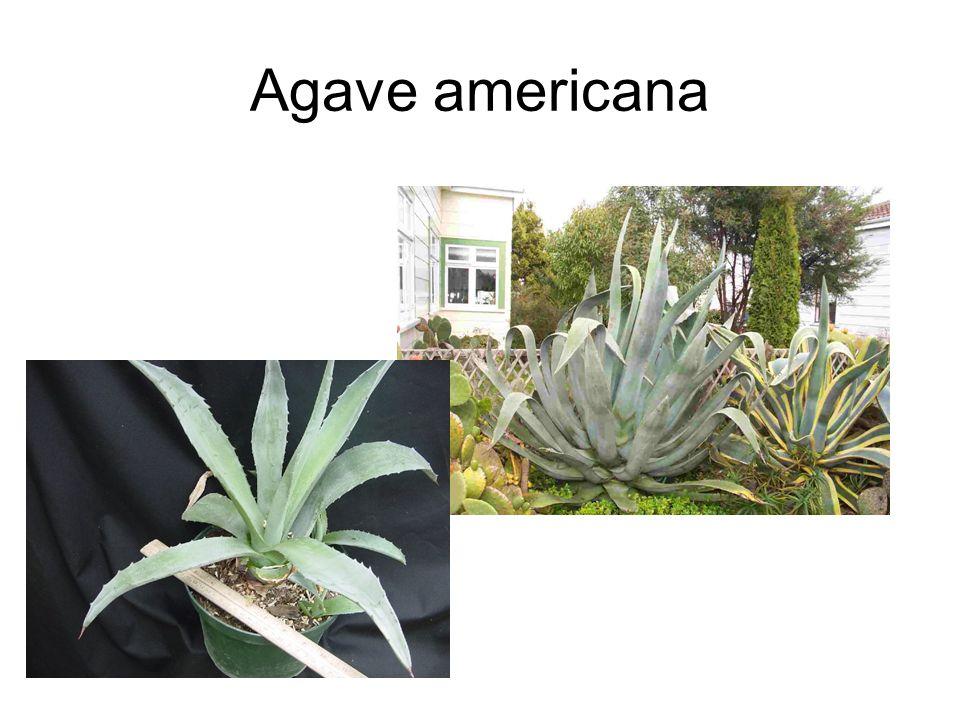 Agave americana