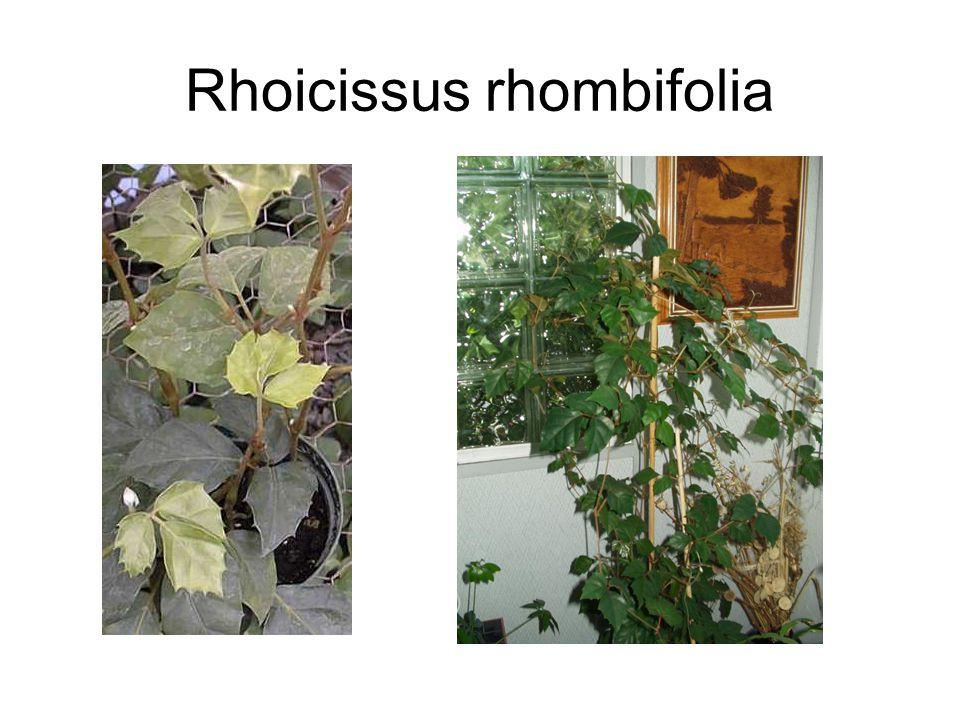 Rhoicissus rhombifolia