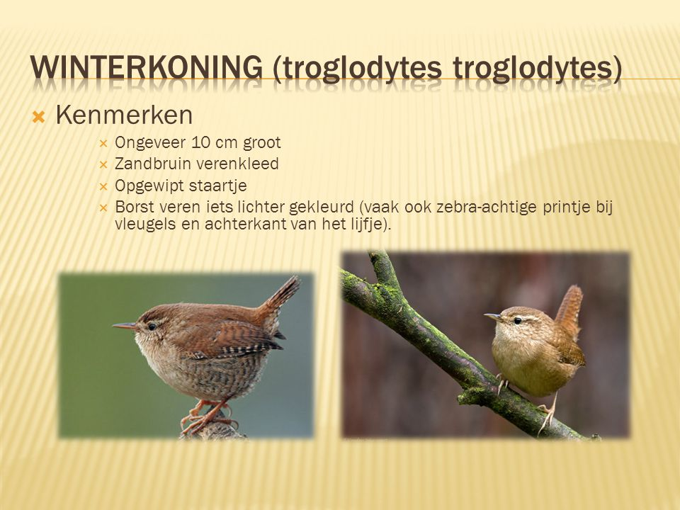 Winterkoning (troglodytes troglodytes)