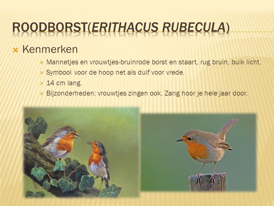 roodborst(Erithacus rubecula)