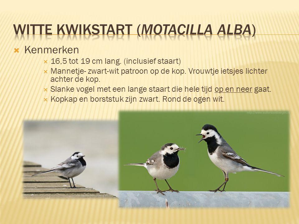 Witte kwikstart (Motacilla alba)