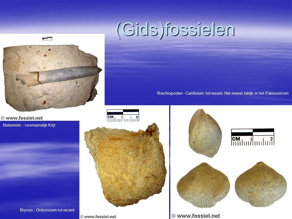 (Gids)fossielen Brachiopoden - Cambrium tot recent. Het meest talrijk in het Paleozoïcum. Belemniet - voornamelijk Krijt.