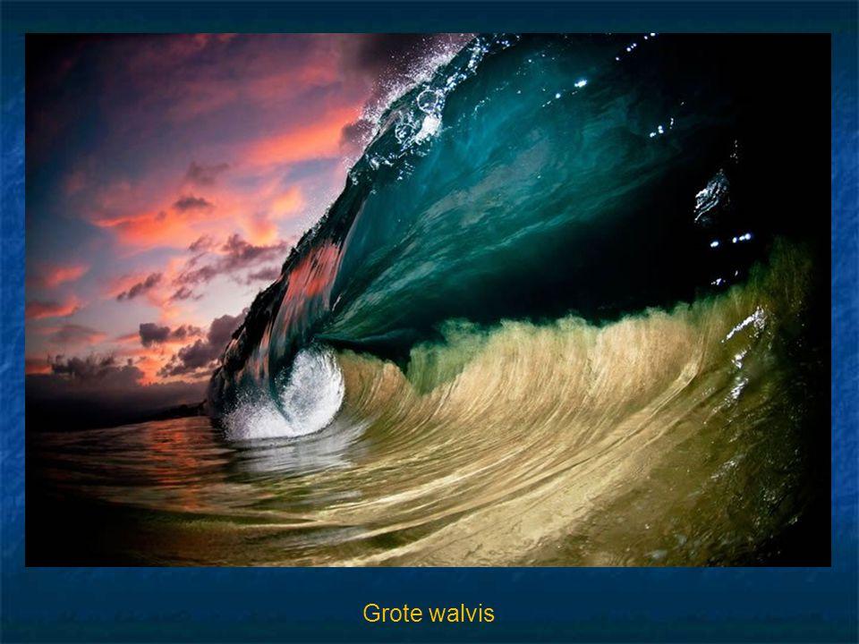 Grote walvis