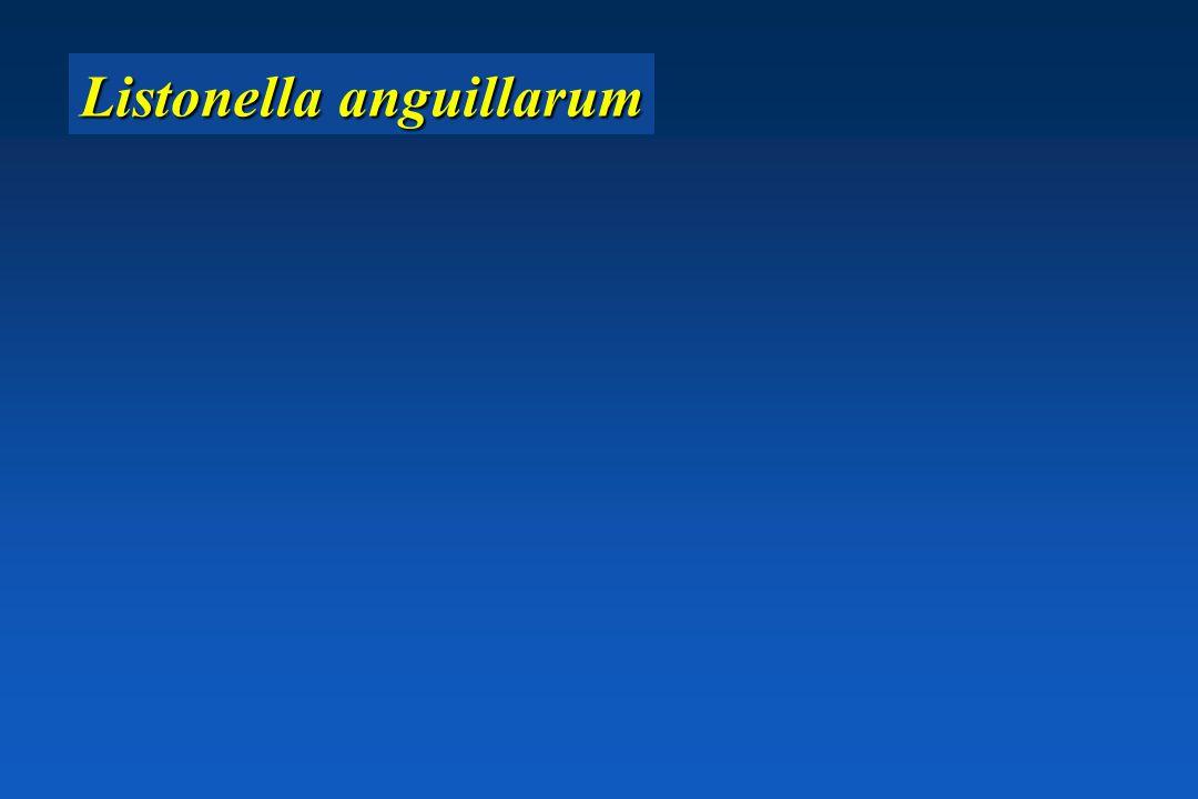 Listonella anguillarum