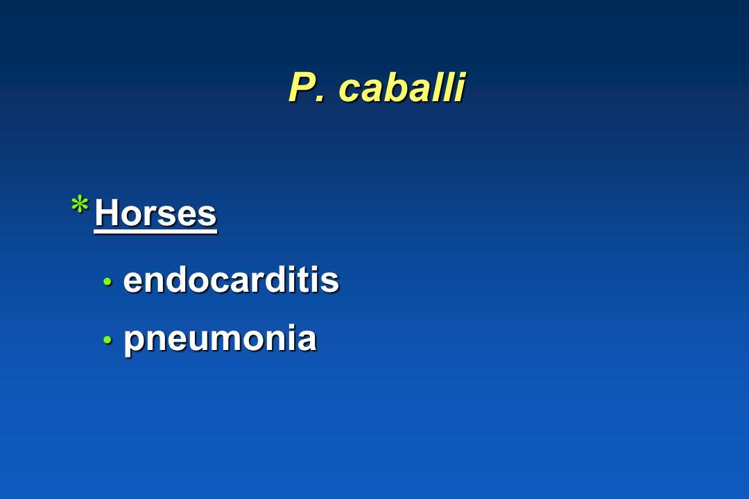 P. caballi Horses endocarditis pneumonia