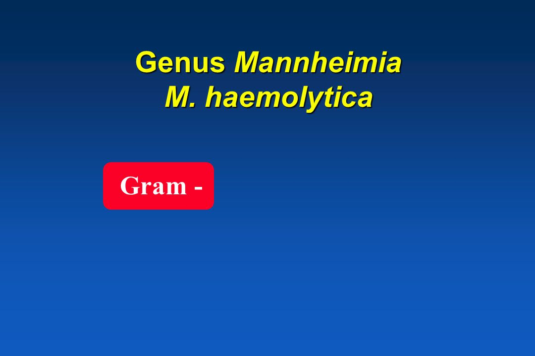 Genus Mannheimia M. haemolytica