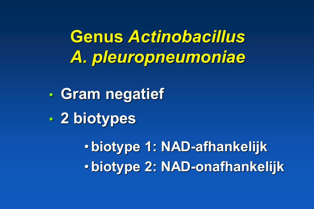 Genus Actinobacillus A. pleuropneumoniae