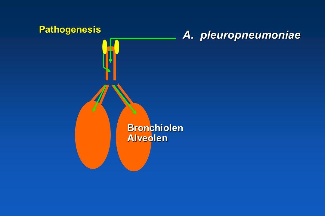 Pathogenesis A. pleuropneumoniae Bronchiolen Alveolen
