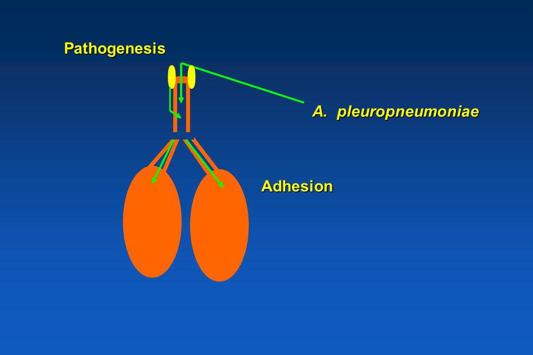 Pathogenesis A. pleuropneumoniae Adhesion