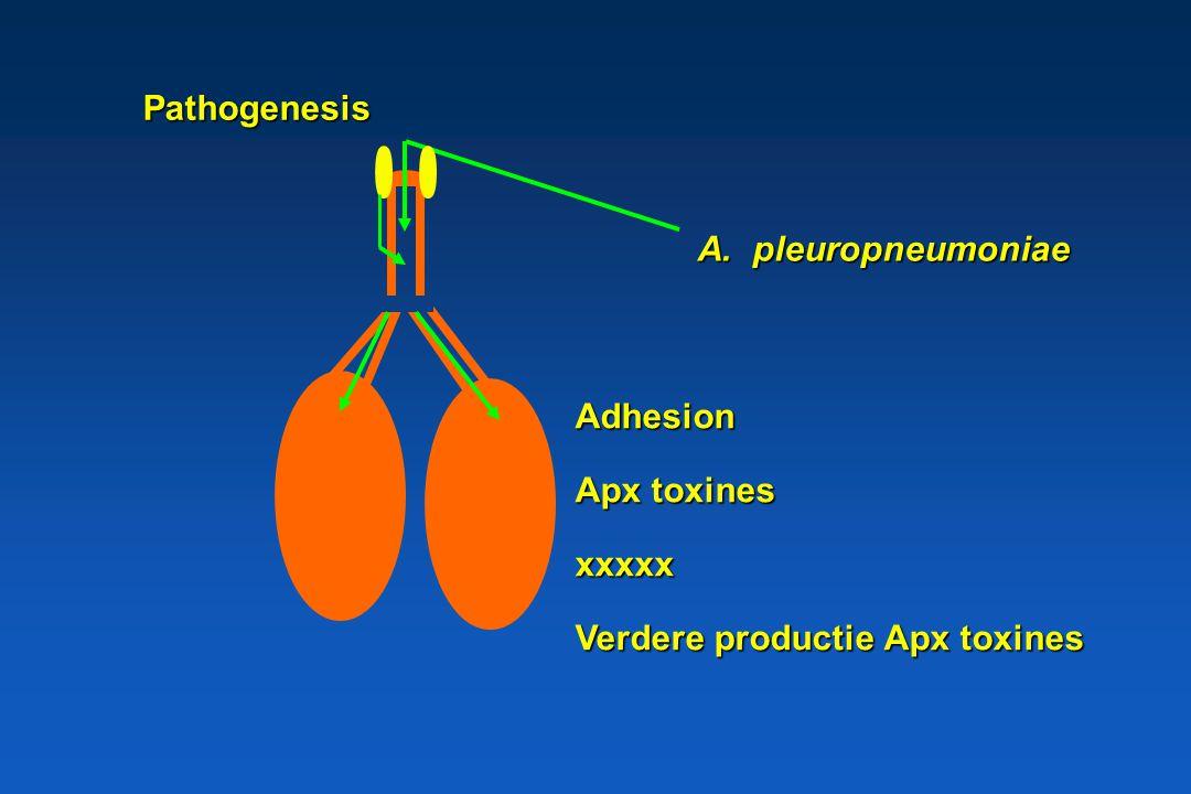 Pathogenesis A. pleuropneumoniae Adhesion Apx toxines xxxxx Verdere productie Apx toxines