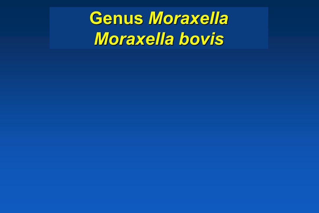 Genus Moraxella Moraxella bovis