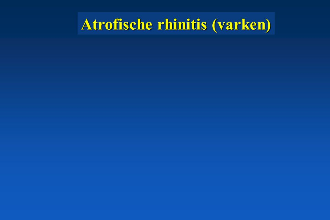 Atrofische rhinitis (varken)
