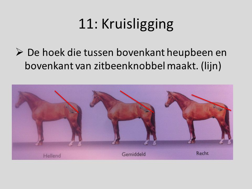 11: Kruisligging De hoek die tussen bovenkant heupbeen en bovenkant van zitbeenknobbel maakt.