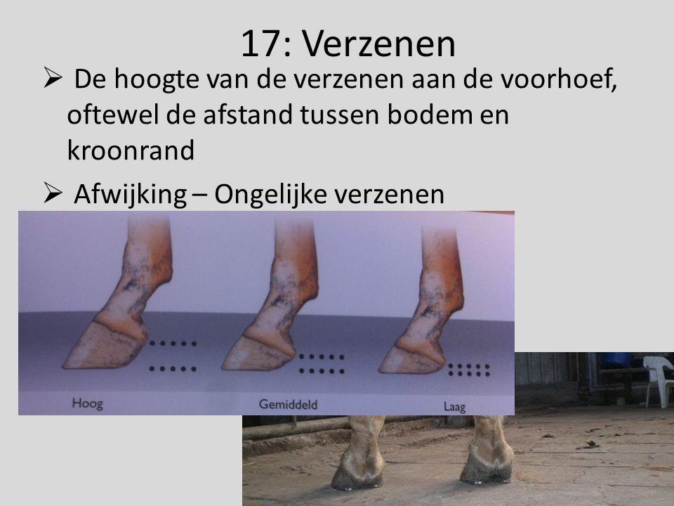 17: Verzenen De hoogte van de verzenen aan de voorhoef, oftewel de afstand tussen bodem en kroonrand.