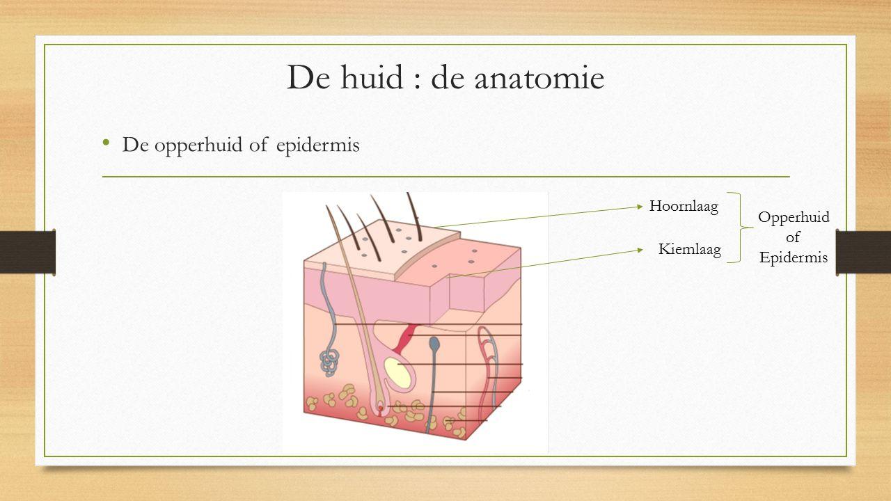 De huid : de anatomie De opperhuid of epidermis Hoornlaag Opperhuid of