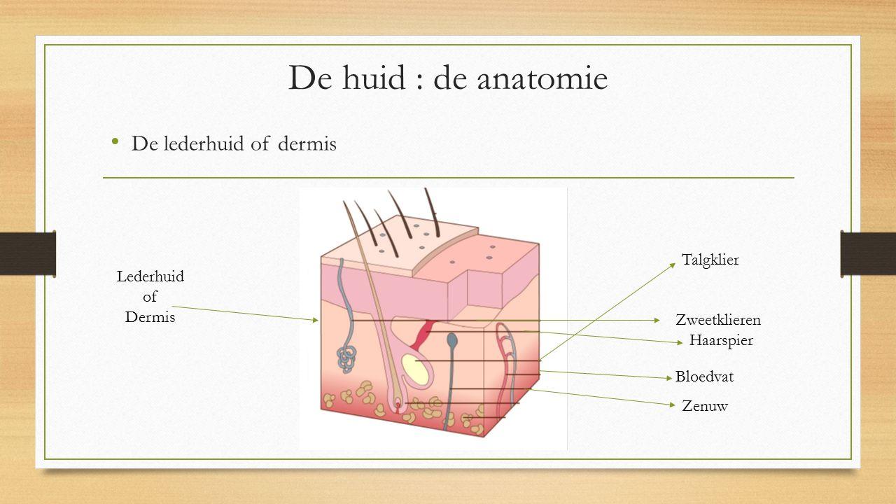 De huid : de anatomie De lederhuid of dermis Talgklier Lederhuid of