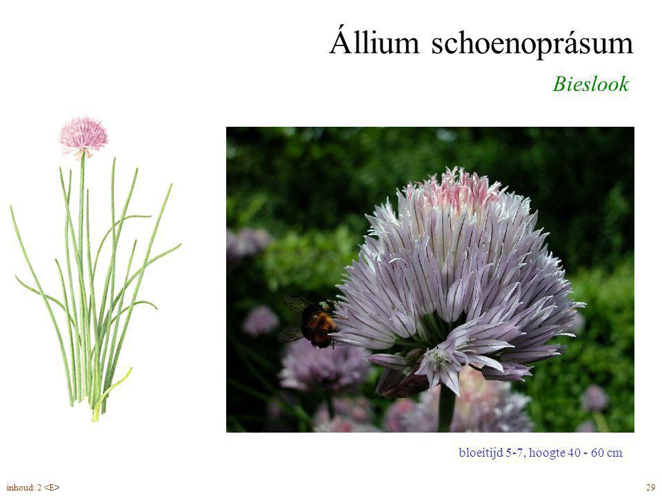Állium schoenoprásum Bieslook bloeitijd 5-7, hoogte 40 - 60 cm