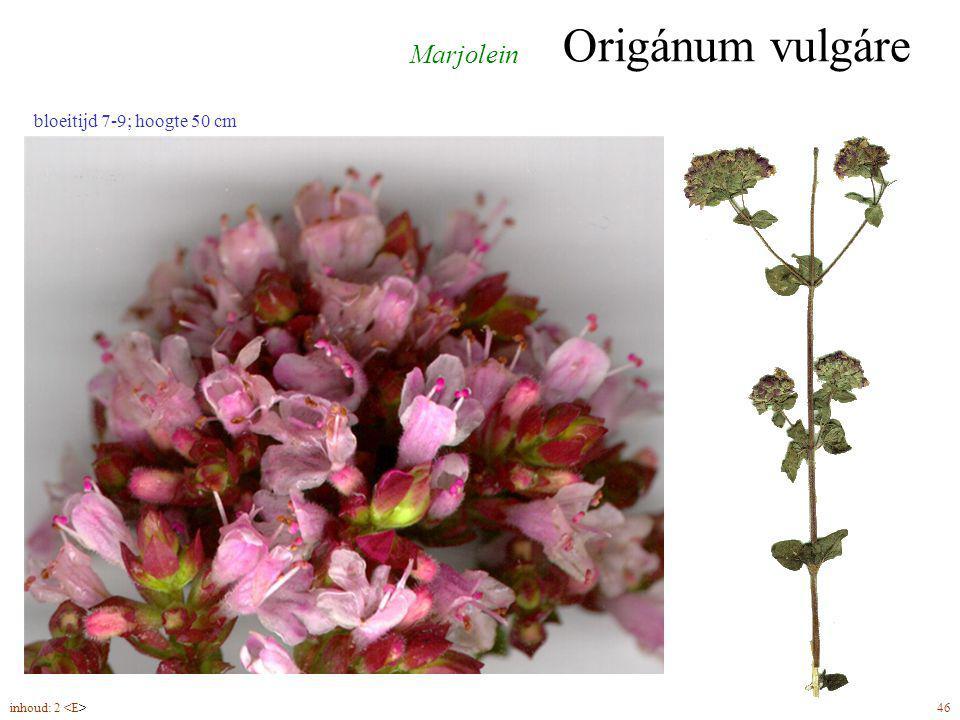 Origánum vulgáre Marjolein bloeitijd 7-9; hoogte 50 cm