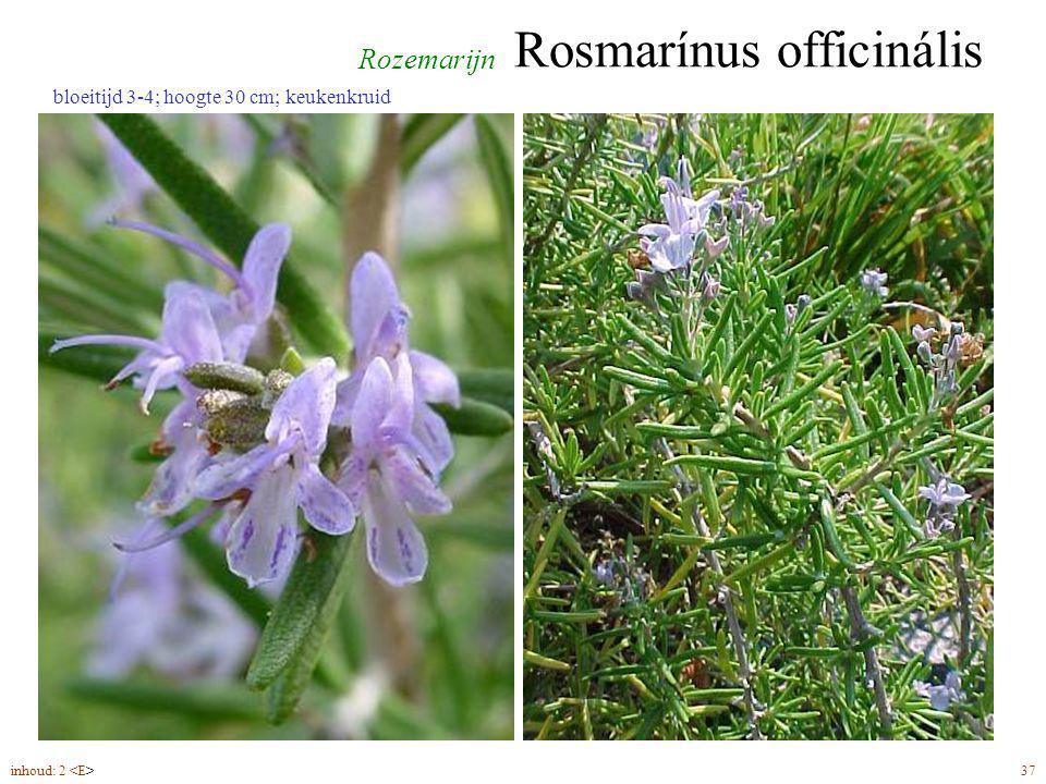 Rosmarínus officinális