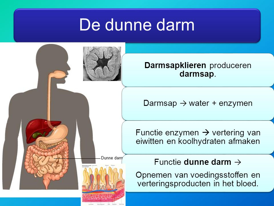 De dunne darm Darmsapklieren produceren darmsap.