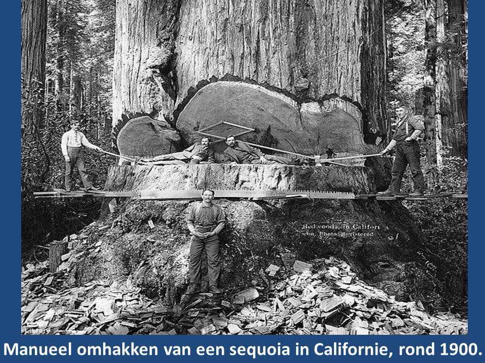 Manueel omhakken van een sequoia in Californie, rond 1900.