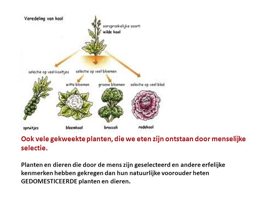Ook vele gekweekte planten, die we eten zijn ontstaan door menselijke