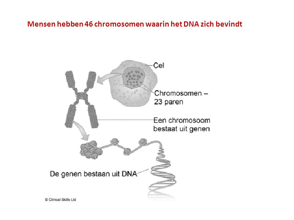 Mensen hebben 46 chromosomen waarin het DNA zich bevindt