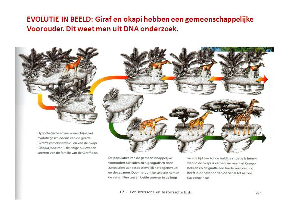 EVOLUTIE IN BEELD: Giraf en okapi hebben een gemeenschappelijke