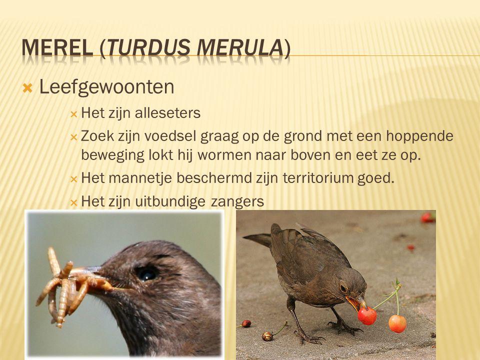 MEREL (Turdus merula) Leefgewoonten Het zijn alleseters
