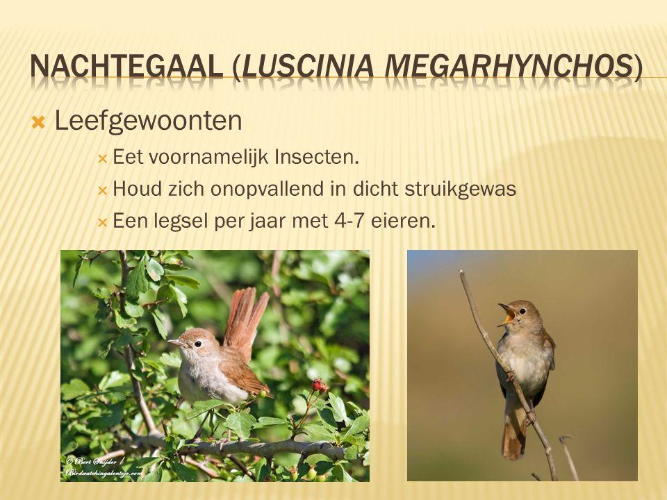 nachtegaal (Luscinia megarhynchos)