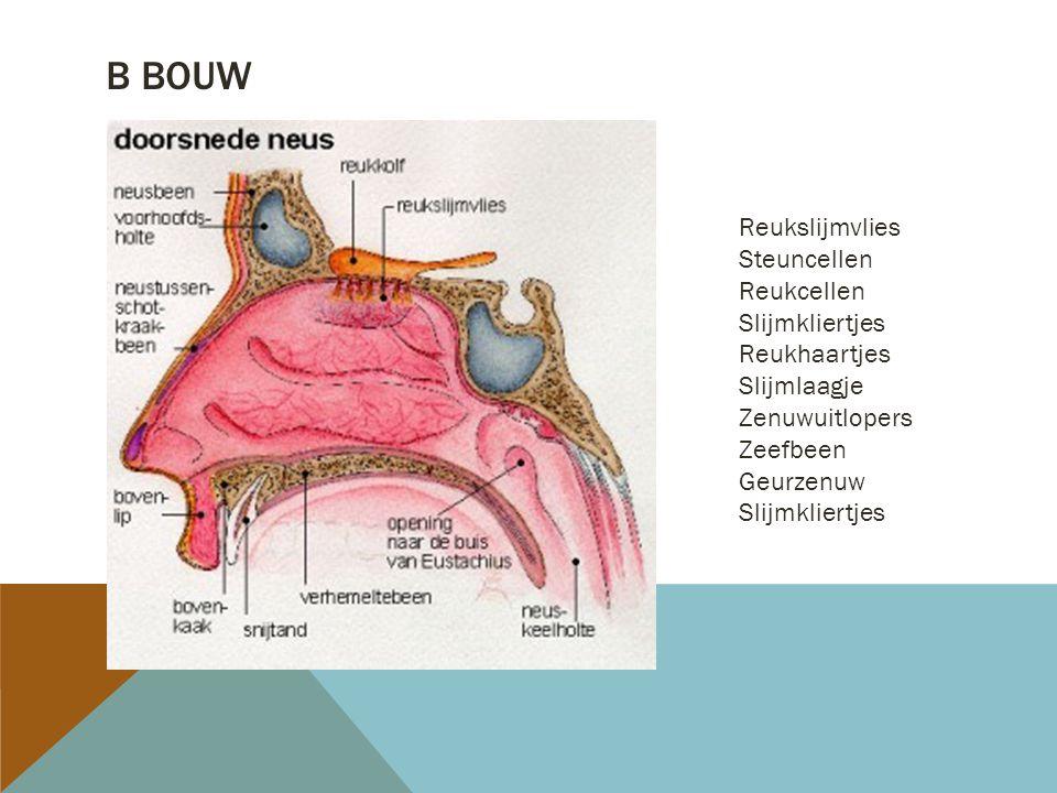 B bouw Reukslijmvlies Steuncellen Reukcellen Slijmkliertjes