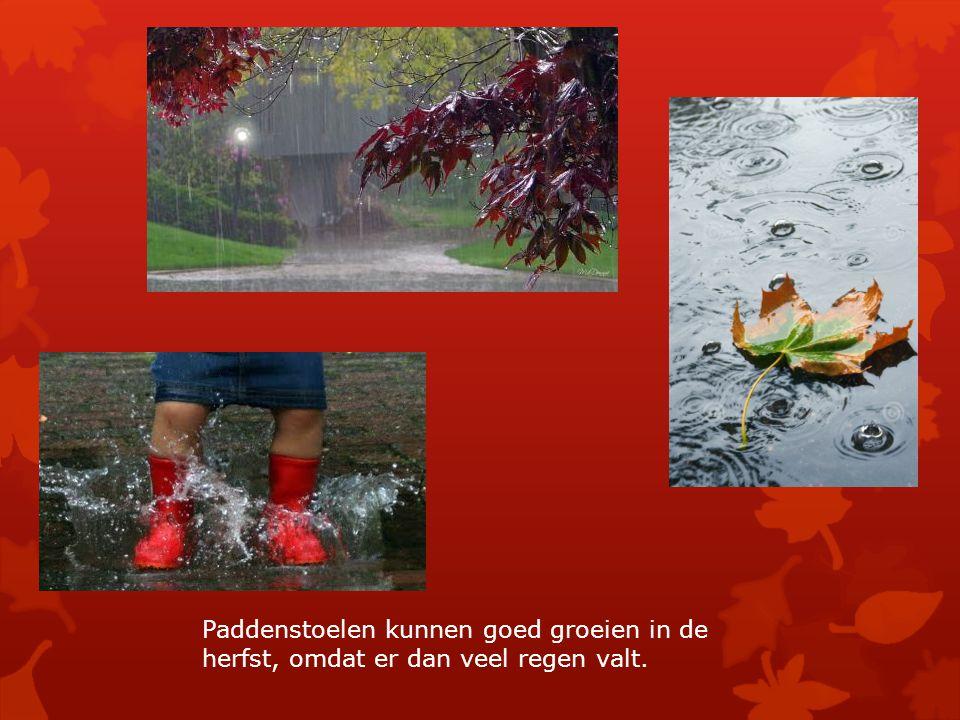 Paddenstoelen kunnen goed groeien in de herfst, omdat er dan veel regen valt.