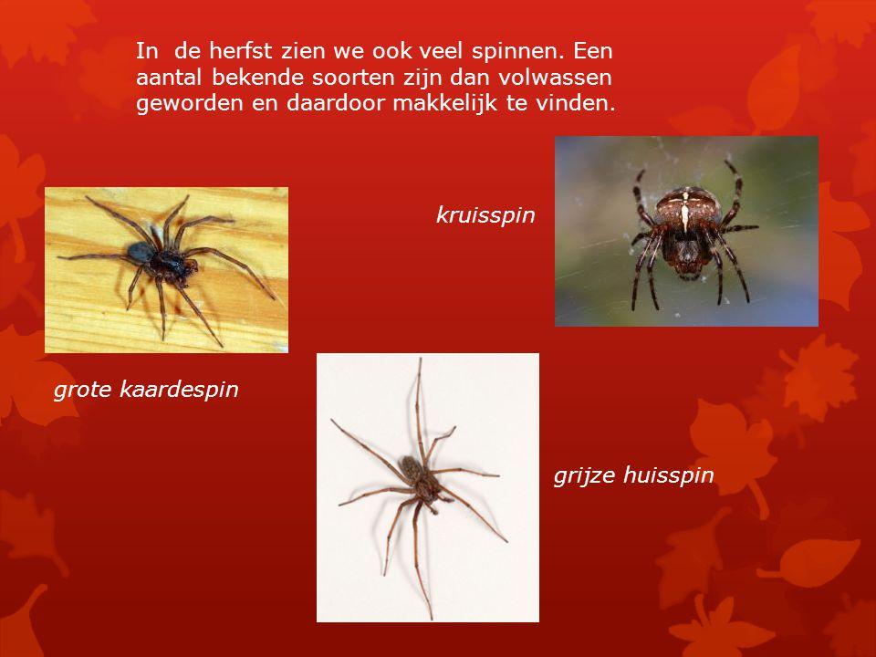 In de herfst zien we ook veel spinnen