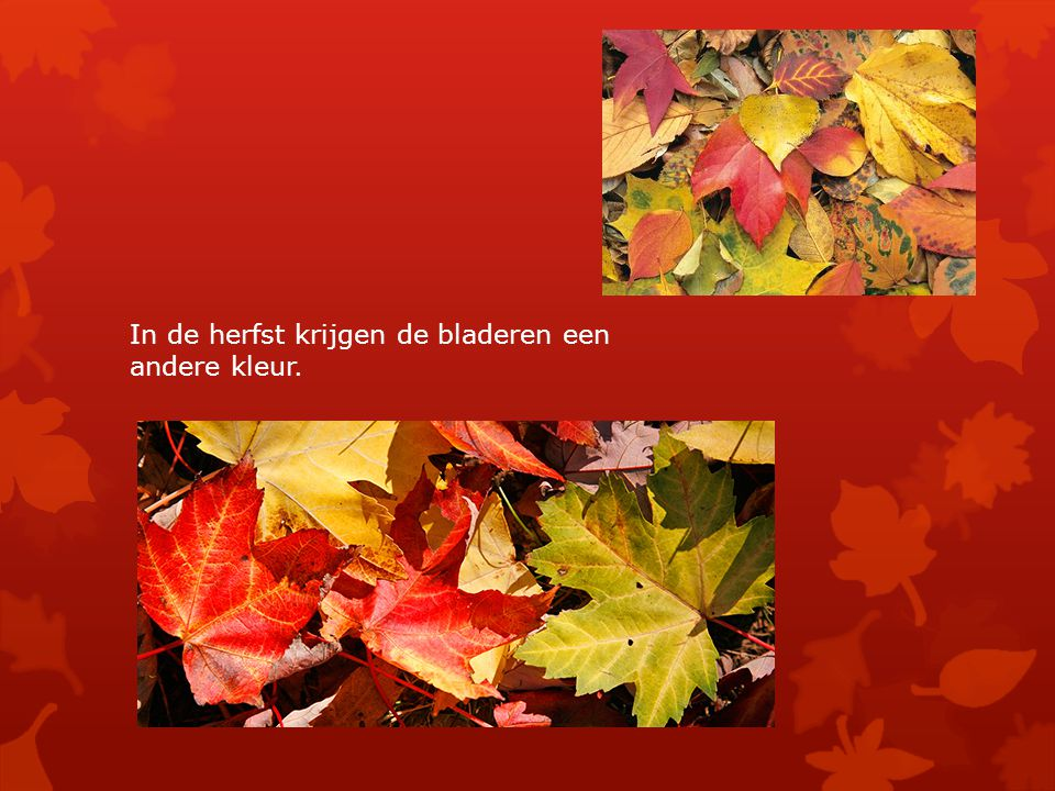 In de herfst krijgen de bladeren een