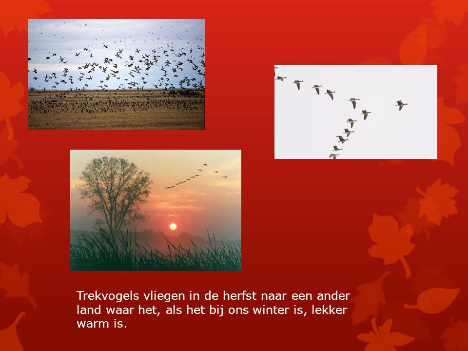 Trekvogels vliegen in de herfst naar een ander land waar het, als het bij ons winter is, lekker warm is.