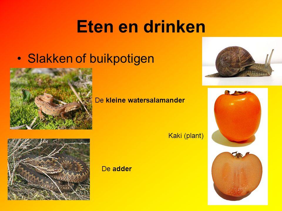 Eten en drinken Slakken of buikpotigen De kleine watersalamander