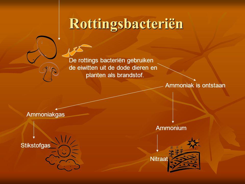 Rottingsbacteriën De rottings bacteriën gebruiken de eiwitten uit de dode dieren en planten als brandstof.