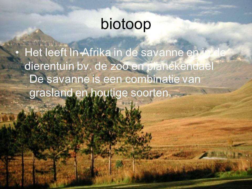 biotoop Het leeft In Afrika in de savanne en in de dierentuin bv. de zoo en planckendael.