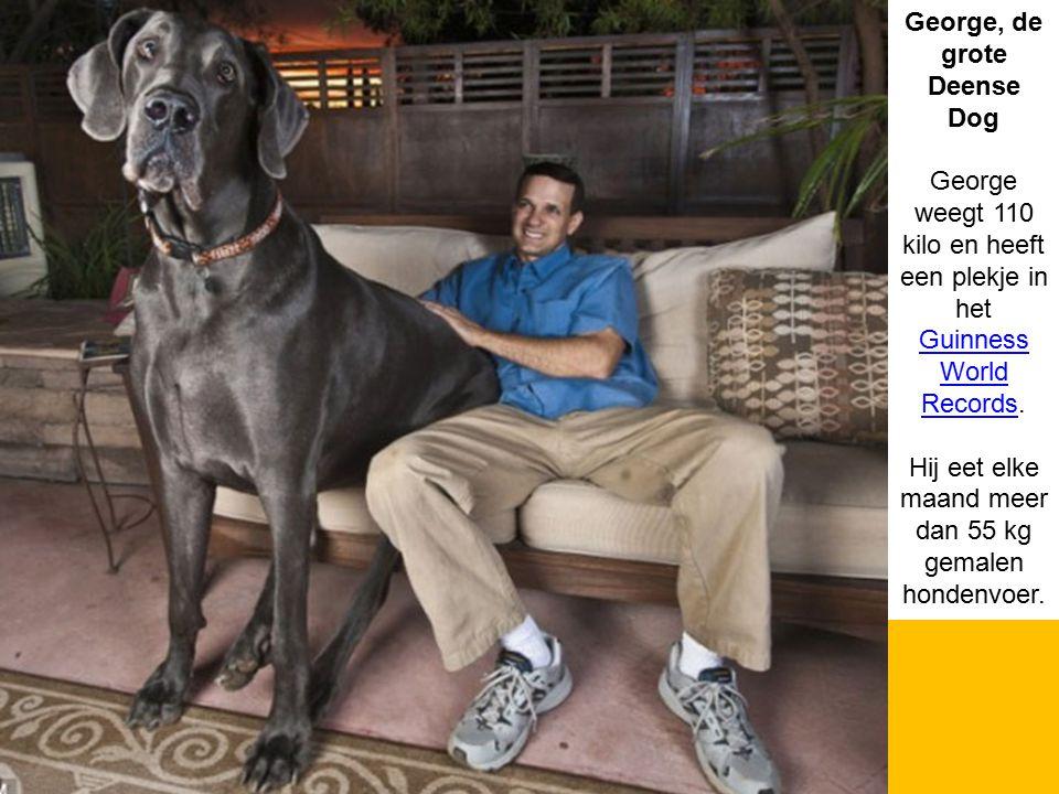 George, de grote Deense Dog