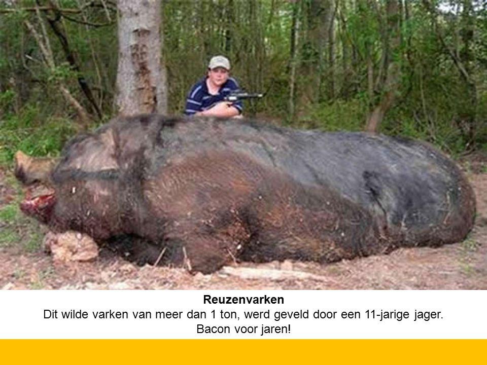 Reuzenvarken Dit wilde varken van meer dan 1 ton, werd geveld door een 11-jarige jager.