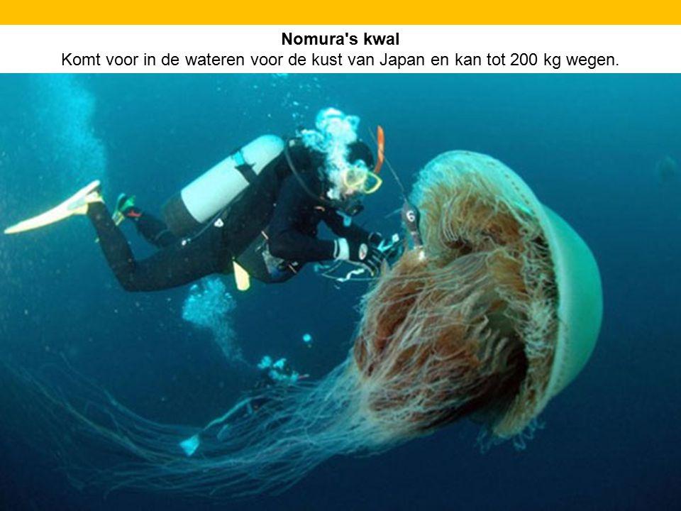 Nomura s kwal Komt voor in de wateren voor de kust van Japan en kan tot 200 kg wegen.